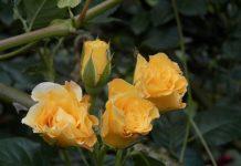 роза укрытие роз