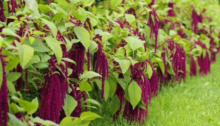 Амарант: выращивание и уход