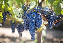 грошение ягод у винограда